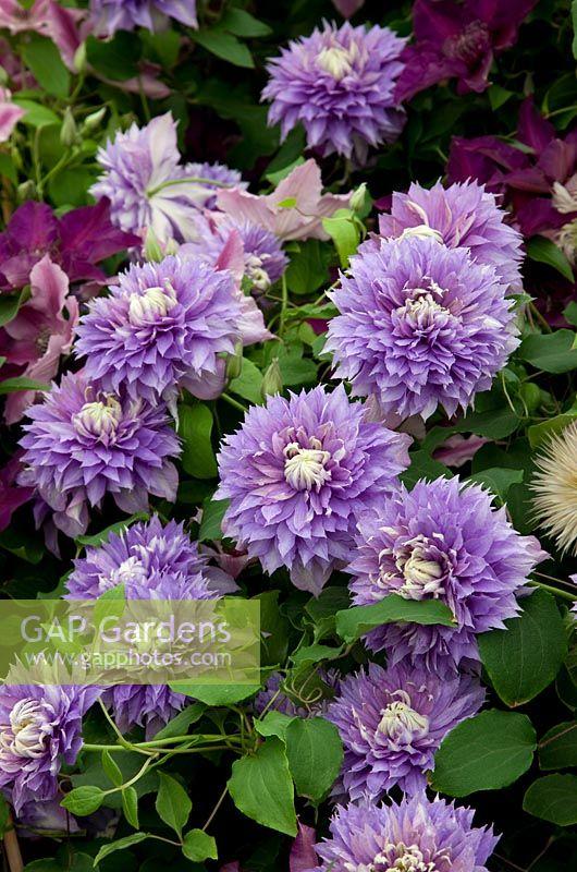 gap gardens clematis 39 diamantina 39 rhs chelsea flower. Black Bedroom Furniture Sets. Home Design Ideas