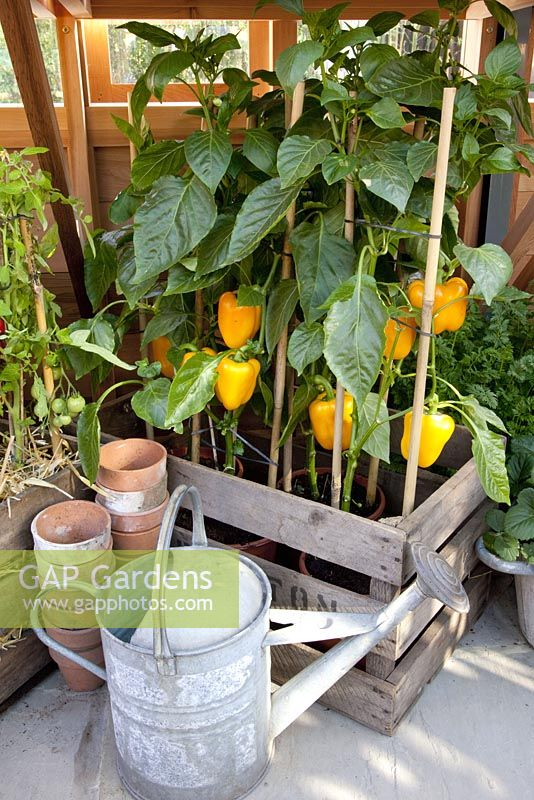 Capsicum annuum - Peppers in pots, RHS Chelsea Flower Show 2010