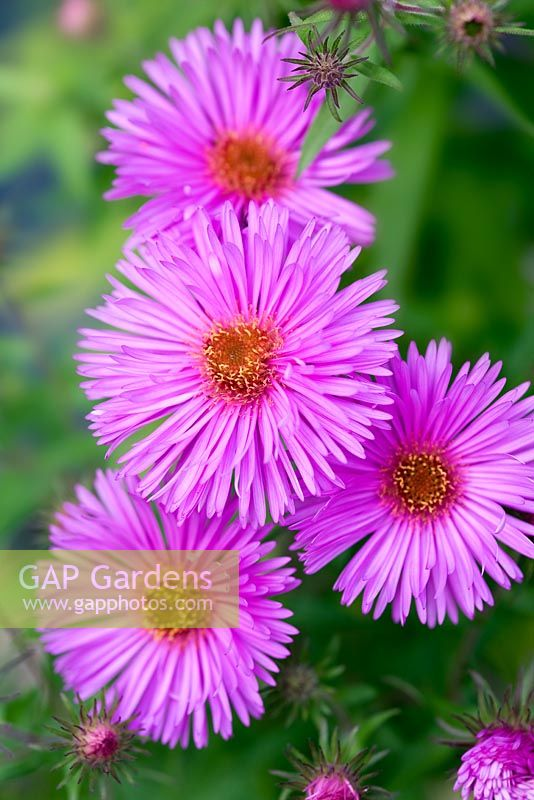 Aster 'Lye End Beauty'