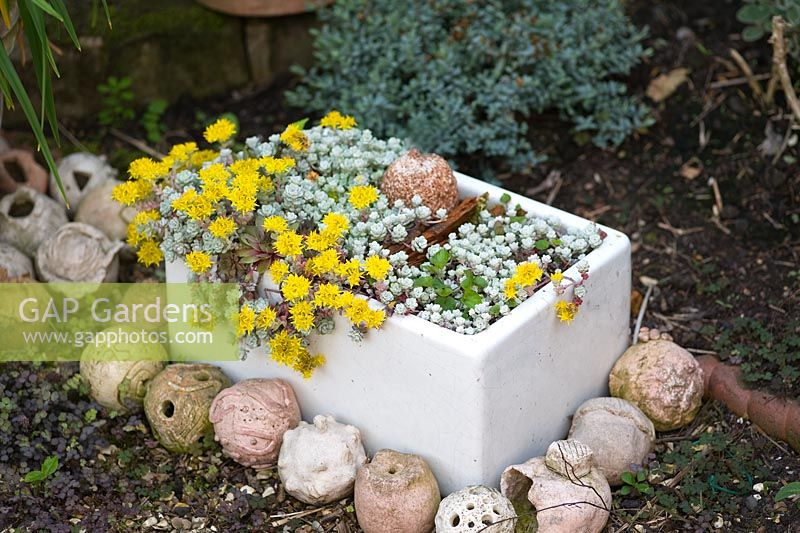 Scenic Gap Gardens  Sedum Cape Blanco Growing In A Ceramic Belfast  With Licious Sedum Cape Blanco Growing In A Ceramic Belfast Sink With Amazing Garden Pallet Ideas Also Garden City Education Trust In Addition Edging For Garden And Insulated Garden Office Shed As Well As Maroush Gardens Edgware Road Additionally Garden Furniture Next From Gapphotoscom With   Licious Gap Gardens  Sedum Cape Blanco Growing In A Ceramic Belfast  With Amazing Sedum Cape Blanco Growing In A Ceramic Belfast Sink And Scenic Garden Pallet Ideas Also Garden City Education Trust In Addition Edging For Garden From Gapphotoscom