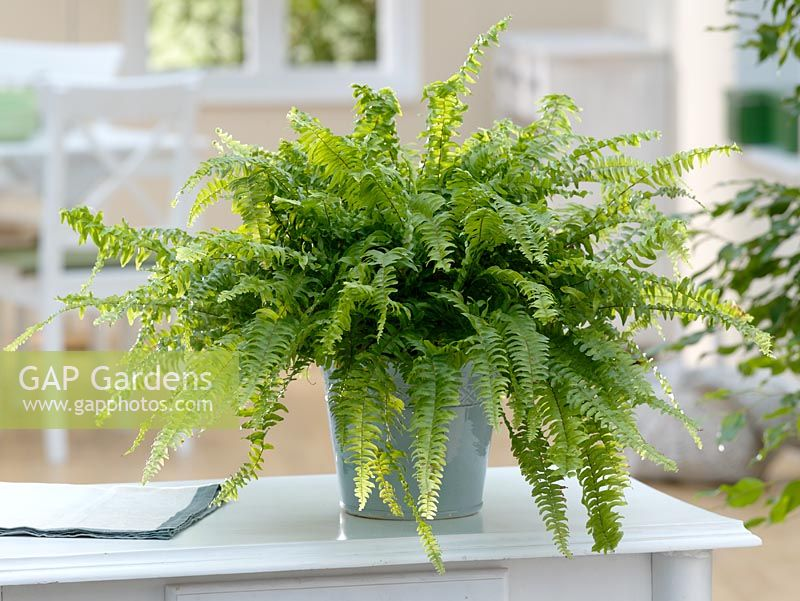 Nephrolepis exaltata - Boston Fern