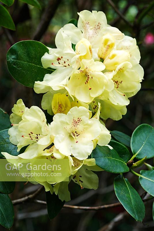 gap gardens rhododendron 39 goldkrone 39 syn 39 gold crown. Black Bedroom Furniture Sets. Home Design Ideas