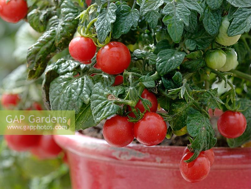 Tomatoes 'Balkonstar' growing in pot