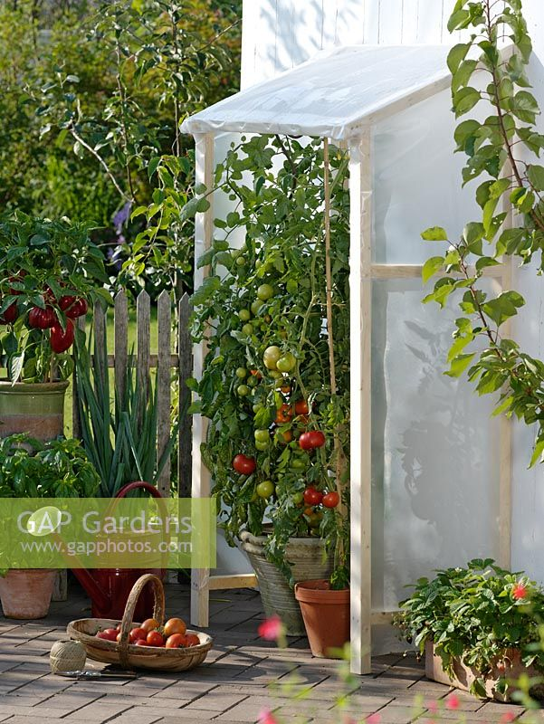 Tomatoes in pots growing in sheltered greenhouse on patio