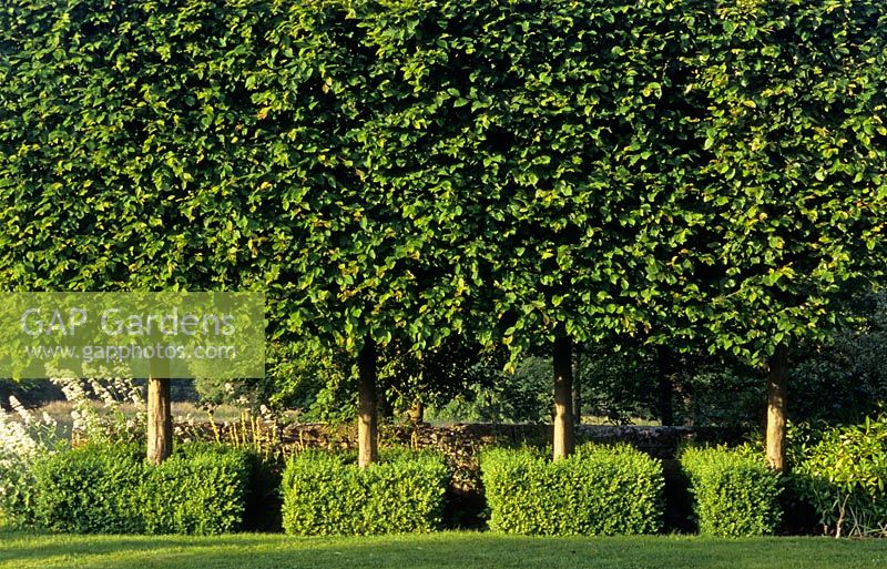 Tilia cordata - Row of pleached lime trees underplanted with boxwood hedges