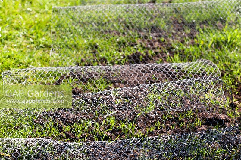 Gap Gardens Chicken Wire Used To Stop Birds Eating Grass Seed On
