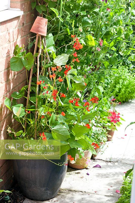 Gap Gardens Dwarf Runner Bean Hestia Growing In A Pot By Wall