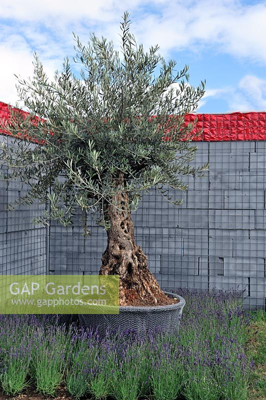 Gap Gardens Mature Olive Tree In Container Wrapped With