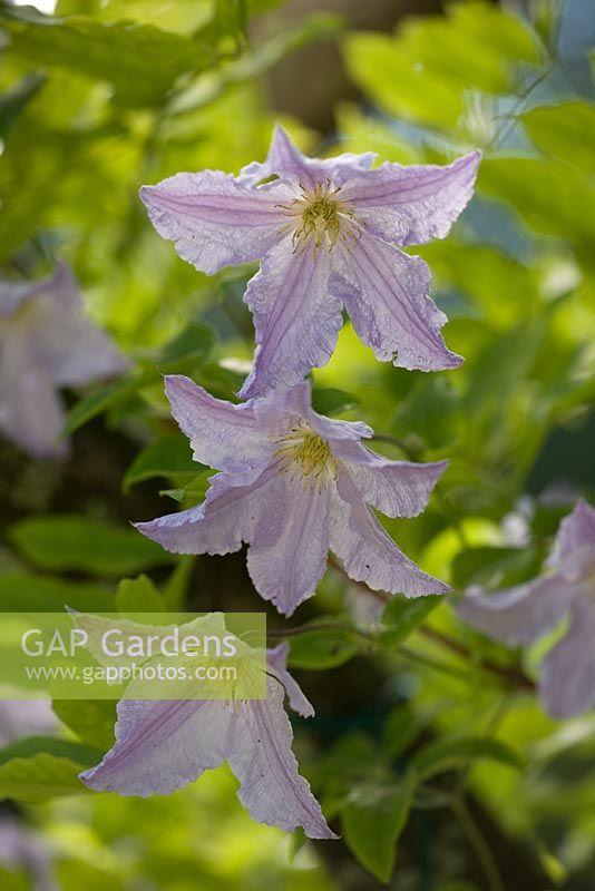 gap gardens clematis 39 blue angel 39 in july image no. Black Bedroom Furniture Sets. Home Design Ideas