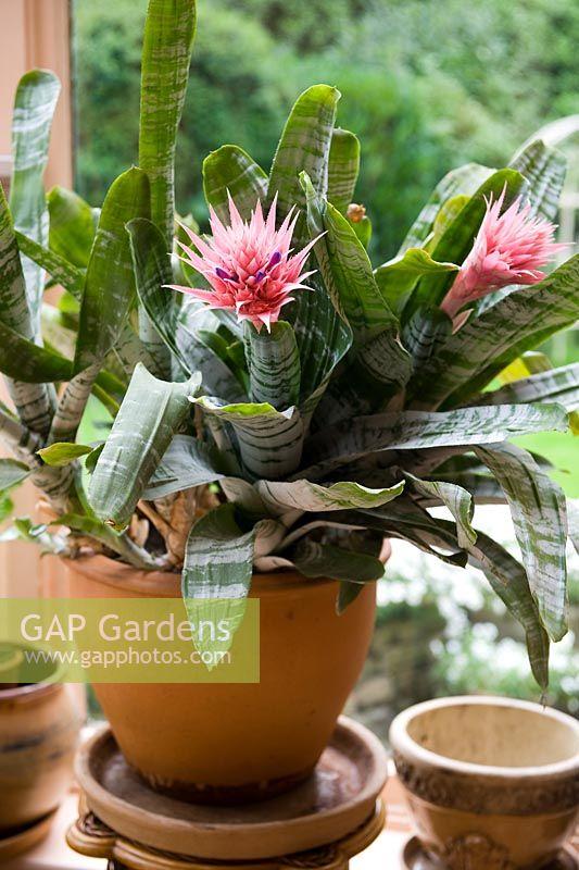 Gap Gardens Aechmea Fasciata Silver Vase Urn Plant In A