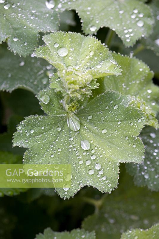 Alchemilla mollis foliage with raindrops