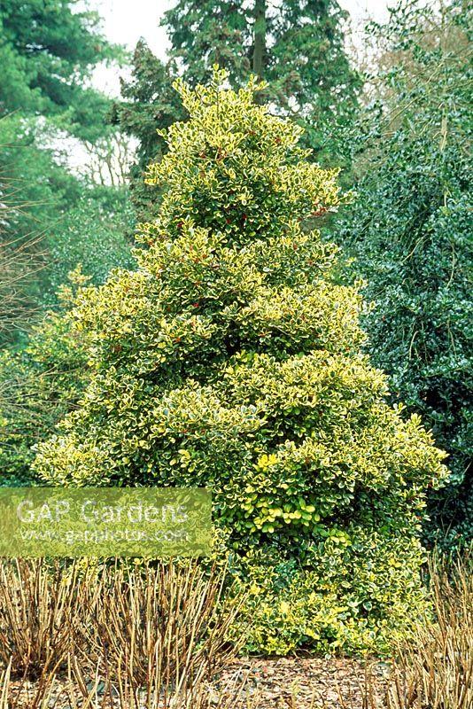 gap gardens ilex altaclerensis 39 golden king 39 image no. Black Bedroom Furniture Sets. Home Design Ideas
