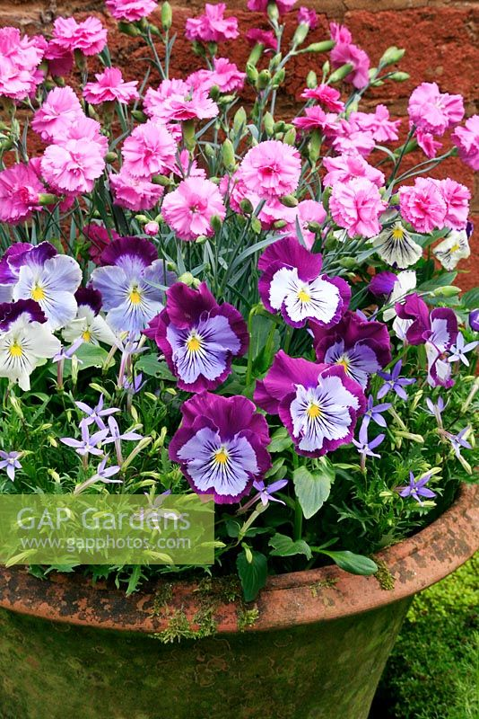 Perfumed pinks, Dianthus 'Tickled Pink' with pansies and Isotoma axillaris growing in a nicely weathered terracotta pot