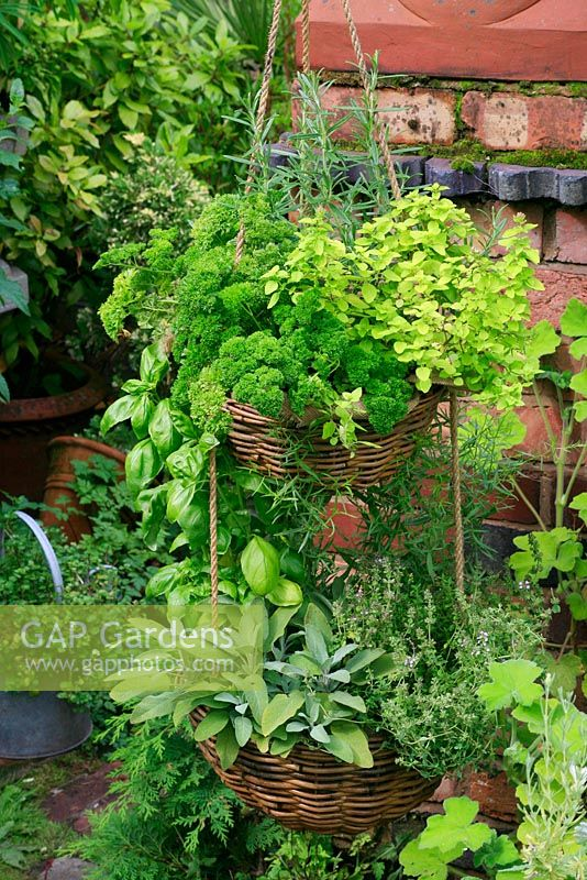 Herb selection hanging in two tier suspended woven baskets - Oreganum vulgare 'Aureum', Petroselinum crispum, Rosmarinus officinalis, Salvia officinalis, Ocimum basilicum, Thymus vulgaris and Artemisia dracunculus