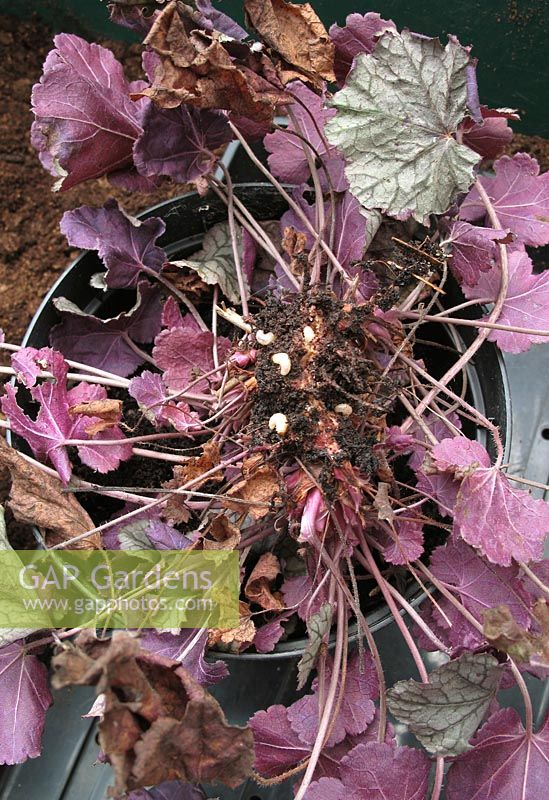 Grubs of the vine weevil beetle, Otiorhynchus sulcatus, infesting the roots and crown of a Heuchera plant which has collapsed