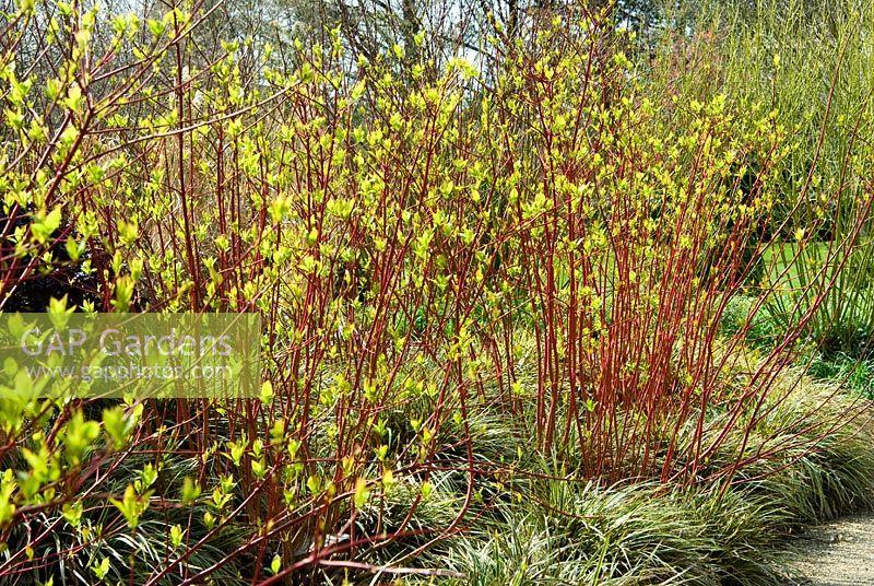 gap gardens cornus alba 39 sibirica variegata. Black Bedroom Furniture Sets. Home Design Ideas