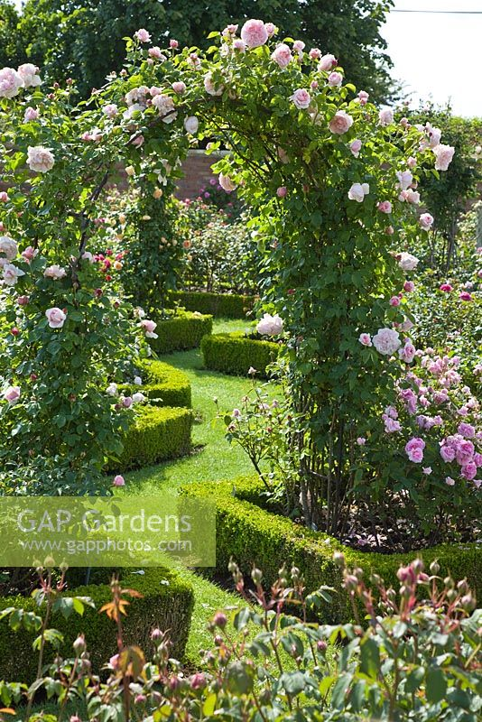Climbing Rosa on arch and borders edged with Buxus - Box hedging - David Austin Roses Albrighton, Staffordshire.
