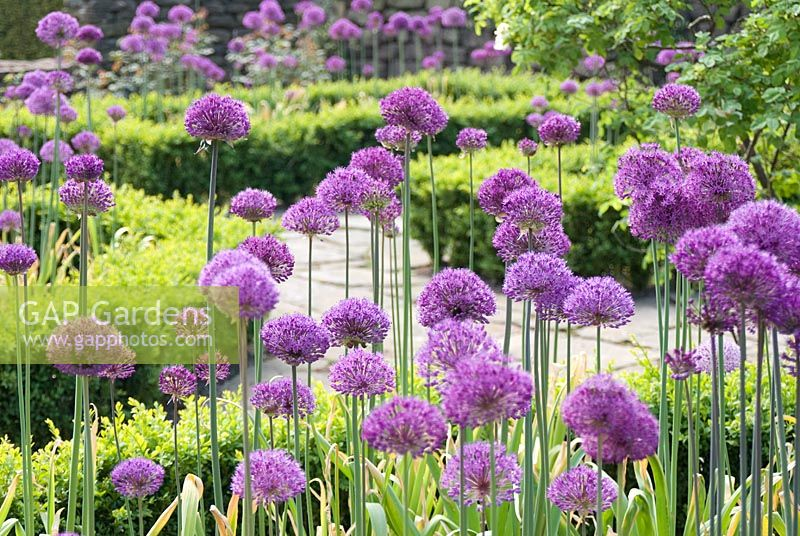 gap gardens allium 39 purple sensation 39 in clipped buxus edged beds at manley knoll cheshire. Black Bedroom Furniture Sets. Home Design Ideas
