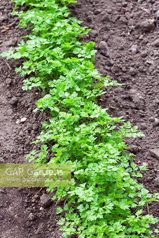 Row of Anthriscus - Chervil seedlings