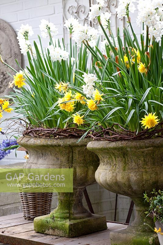 Narcissus 'Paperwhite' and 'Rip van Winkle' in stone urns