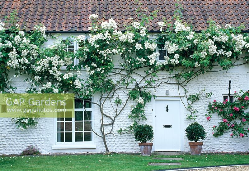 gap gardens rosa 39 bobbie james 39 climbing on cottage image no 0205791 photo by howard rice. Black Bedroom Furniture Sets. Home Design Ideas