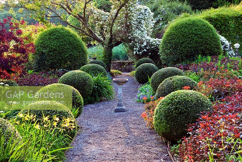 The Front Garden with gravel path and bird bath. Clippped Buxus balls and clipped large mounds of Osmanthus x burkwoodii. Clematis montana growing through Prunus. Veddw House Garden, Monmouthshire, Wales. May