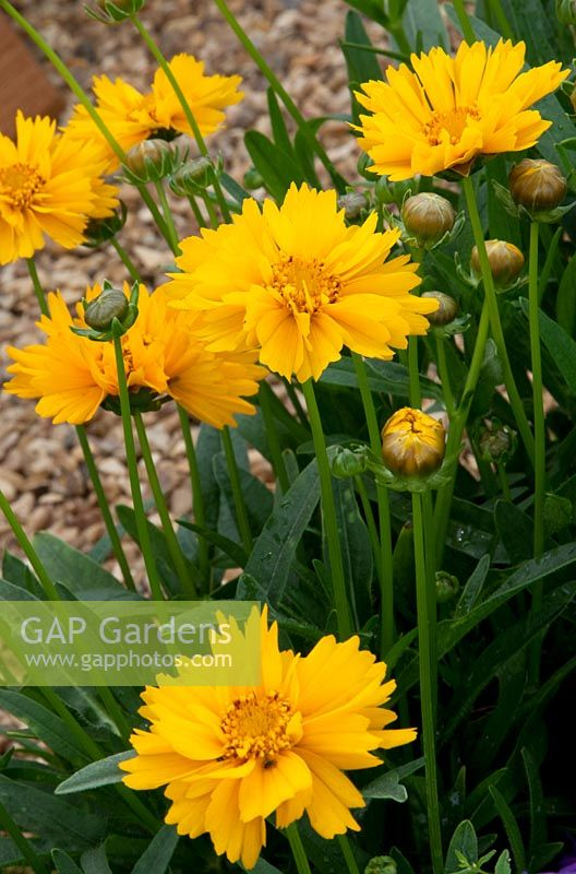 Coreopsis grandiflora 'Early Sunrise' - RHS Hampton Court Palace Flower Show 2010