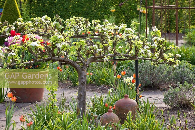 Vegetable garden in spring with espaliered Pyrus communis 'Bonne Louise d'Avranches' - Pear tree