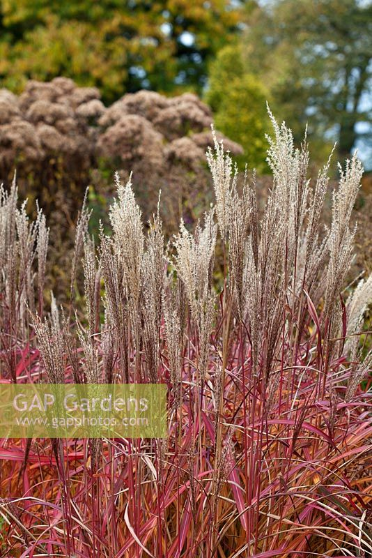 Miscanthus sinensis in a border designed by Piet Oudolf - Trentham Gardens, Staffordshire, October.