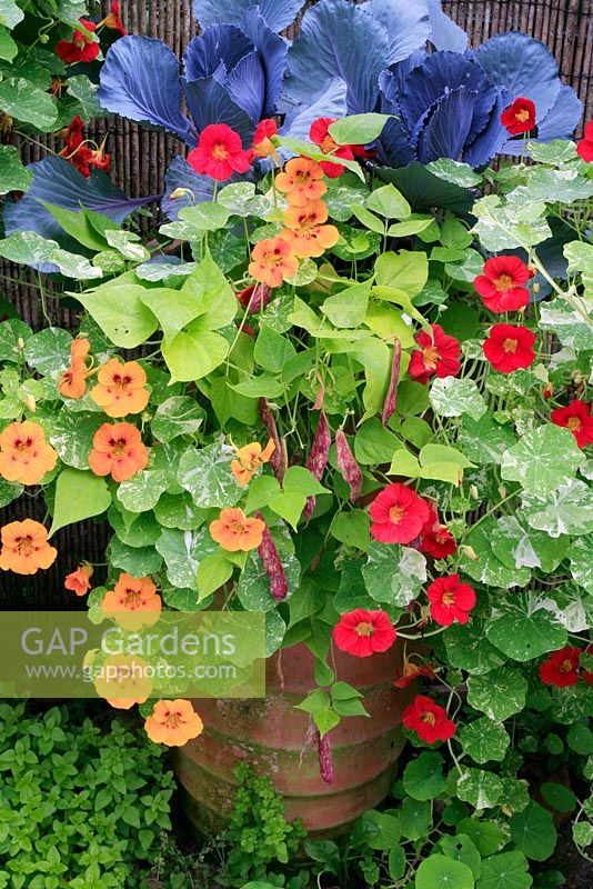 Tall terracotta pot with kitchen garden selection- Italian firetongue bean 'Borlotto', Tropaeolum majus 'Alaska Mixed' - Nasturtium and Brassica - Red Cabbage 'Redcap'
