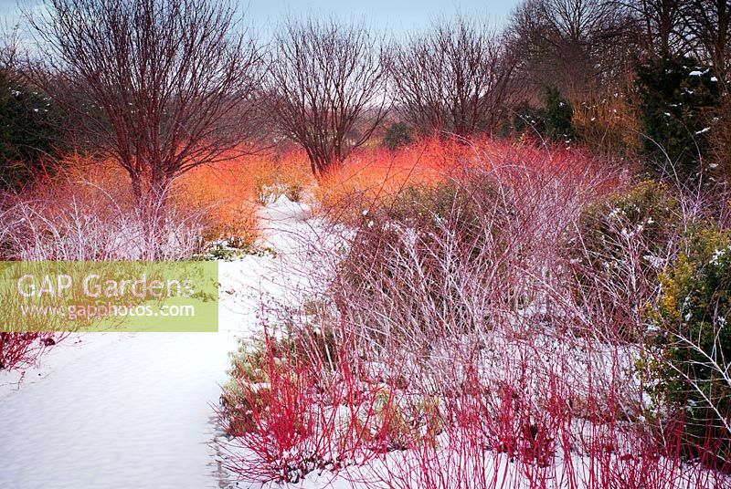 Winter walk at Anglesey Abbey showing brightly coloured stems of Cornus and Rubus thibetanus in February