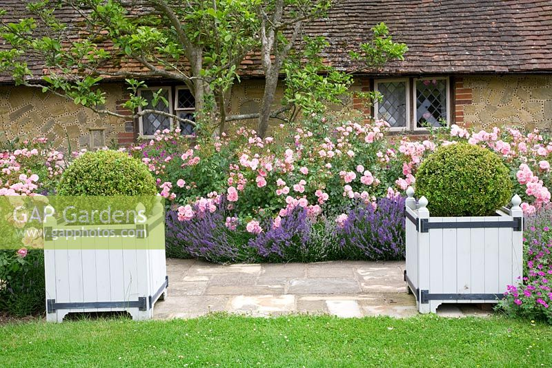 Versailles style planters with Buxus - Box balls in Rose and Lavender walk. Rosa 'Bonica' and Lavandula 'Hidcote'. High Canfold Farm, Surrey