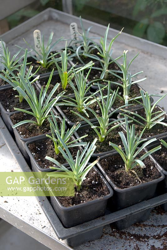 how to take dianthus cuttings