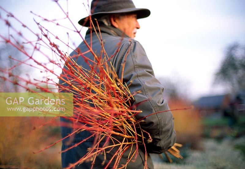 Holding cut stems of Cornus sanguinea 'Midwinter Fire'