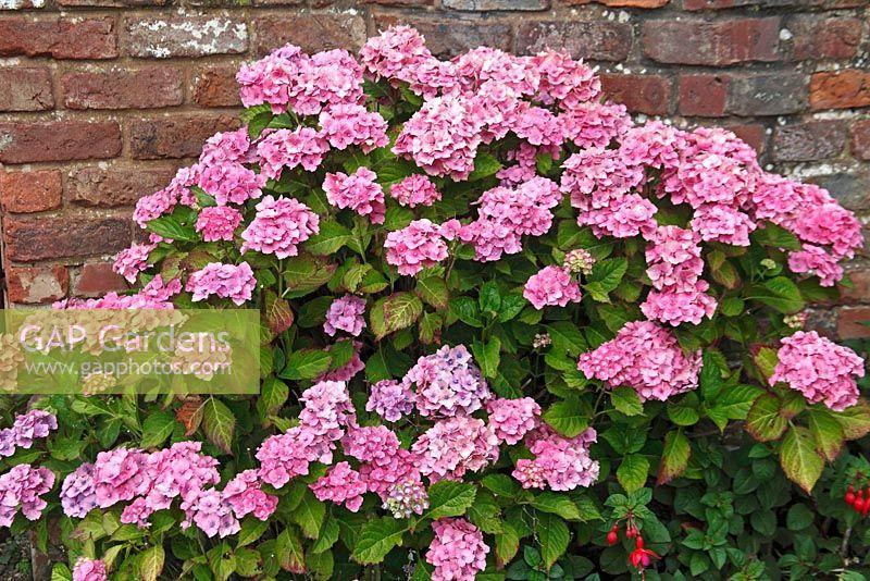 Gap gardens hydrangea macrophylla bouquet rose image