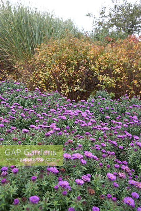 Aster novae-angliae 'Purple Dome' with Rosa nitida