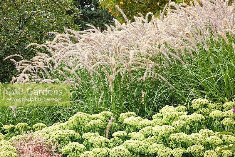 gap gardens pennisetum orientale 39 karley rose 39 and sedum 39 herbstfreude 39 image no 0217111. Black Bedroom Furniture Sets. Home Design Ideas