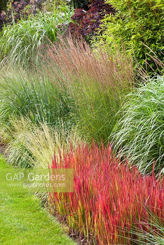 gap gardens miscanthus and molinia imperata cylindrica 39 red baron 39 in mixed border image no. Black Bedroom Furniture Sets. Home Design Ideas