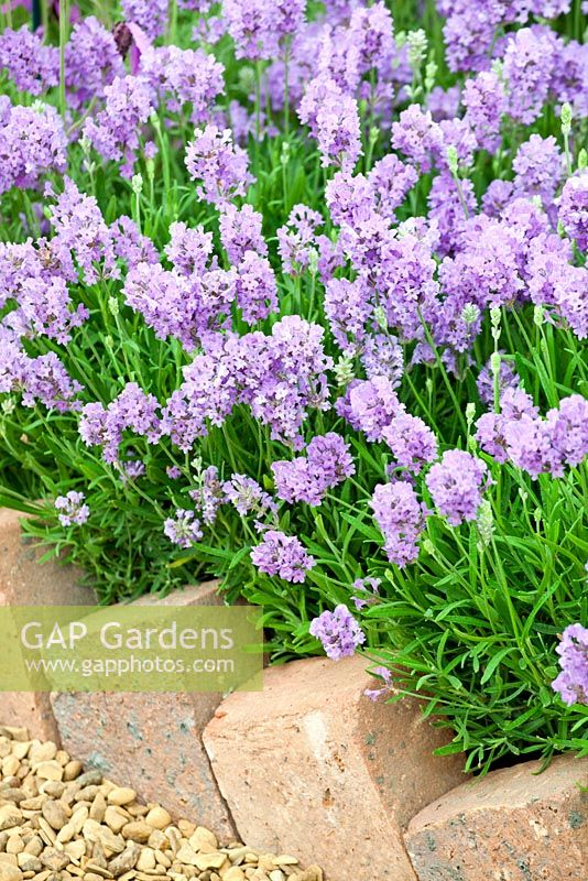 Lavandula 'Ashdown Forest'