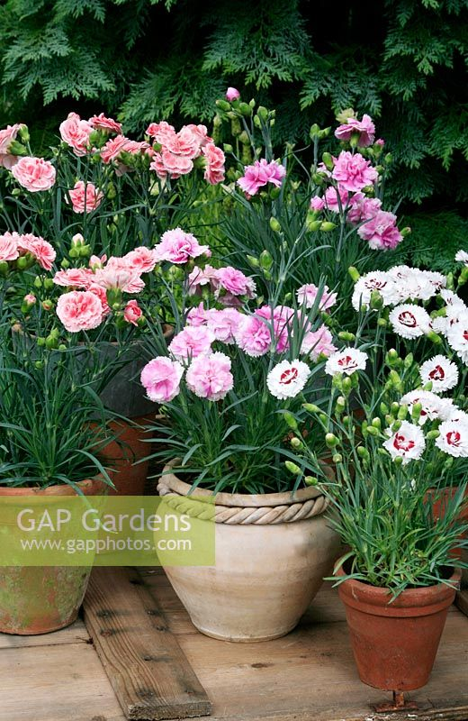 Dianthus 'Coconut Sundae' with 'Iced Gem' and 'Coral Reef' in clay pots