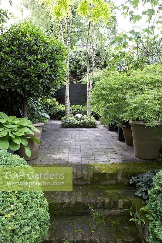 Gap gardens clipped box ball hosta standard bay acers for Silver birch trees for small gardens