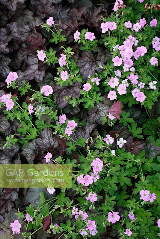 Geranium 'Mavis Simpson' with Heuchera 'Pewter Moon'
