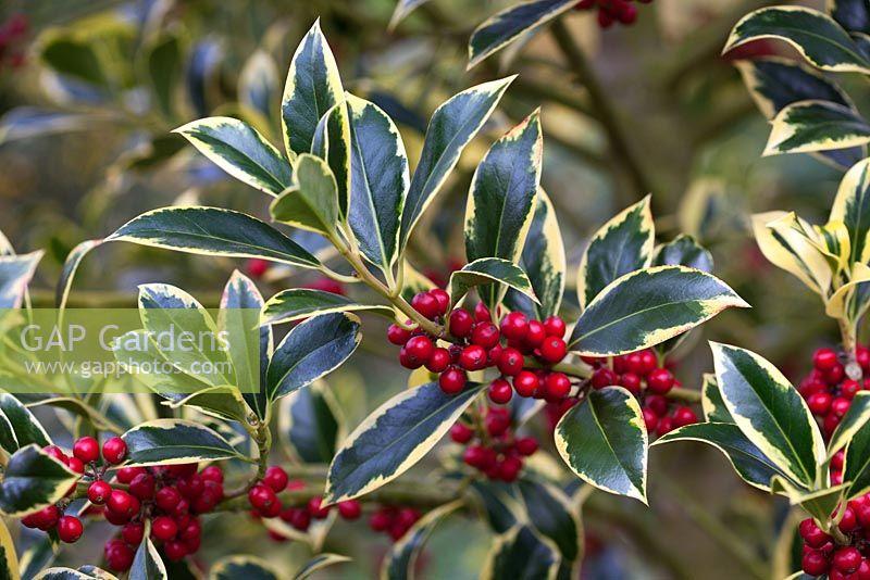 Gap Gardens Ilex Aquifolium Pyramidalis Aureomarginata Image