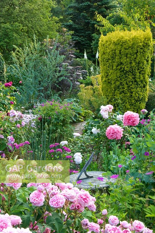 Traditional English cottage garden with pink Rosa, Geranium, Papaver somniferum - Poppy growing around sundial. Taxus baccata  'Aurea' behind. Carol and Malcolm Skinner, Eastgrove Cottage, Worcs, UK