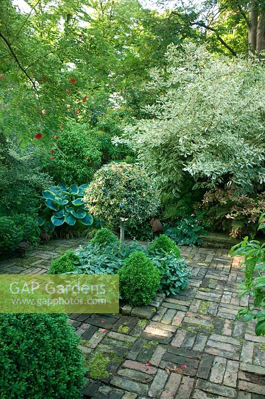 Shady brick paved courtyard garden with Cornus, Buxus spheres and standard Ilex - Holly. The Old Vicarage NGS, Whixley, Yorkshire, UK
