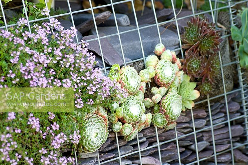 Thymus and Sempervivum growing in gabion wall