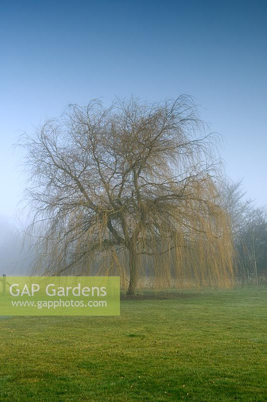 Salix in February - Rolls Farm, Helions Bumpstead, Essex