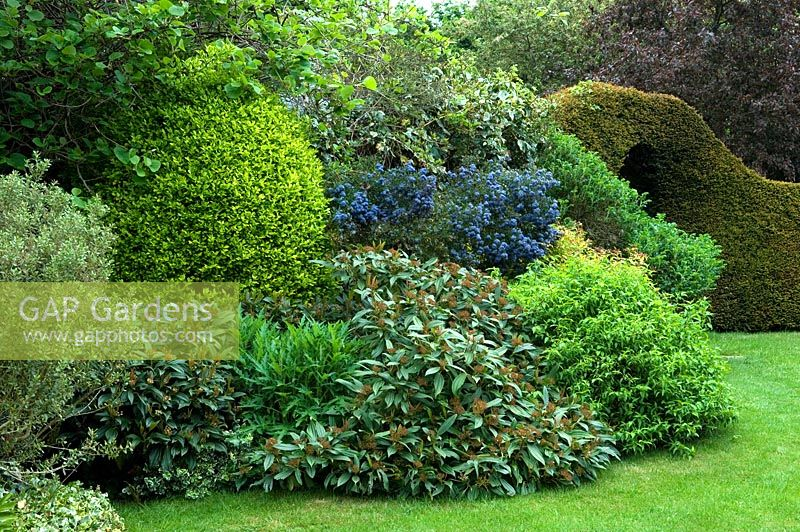 Gap Gardens Viburnum Davidii Ligustrum Ceanothus And