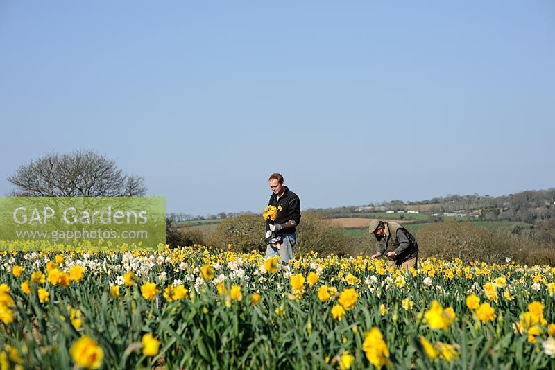 Ron and Adrian Scamp working in the daffodil fields, Cornwall