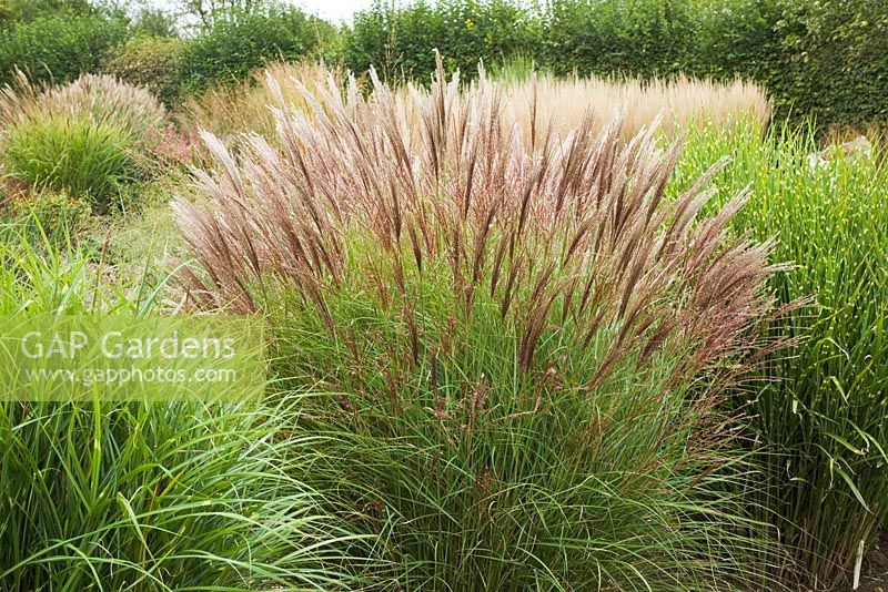 gap gardens miscanthus sinensis 39 yakushima dwarf 39 image no 0224024 photo by fiona mcleod. Black Bedroom Furniture Sets. Home Design Ideas
